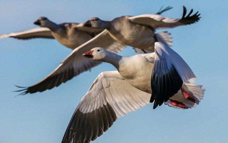 полет, птицы, на природе, гуси, snow geese, пернатые, flight, birds, nature, geese