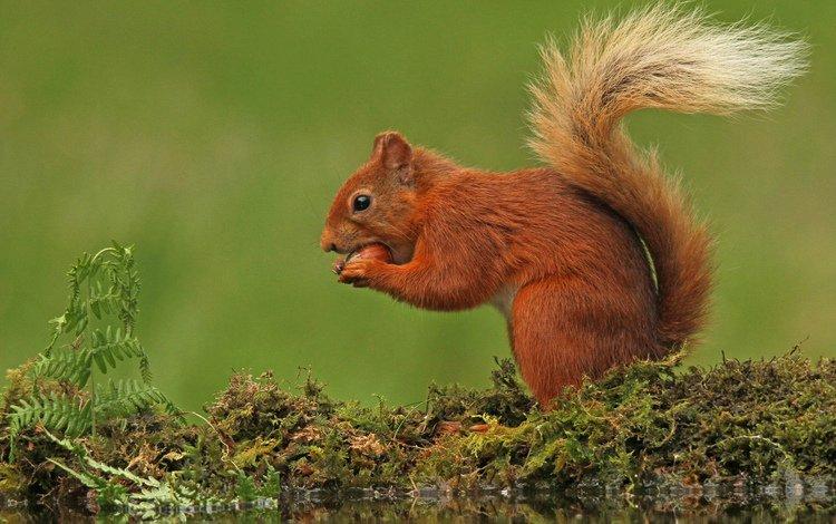 природа, фон, мох, белка, хвост, nature, background, moss, protein, tail