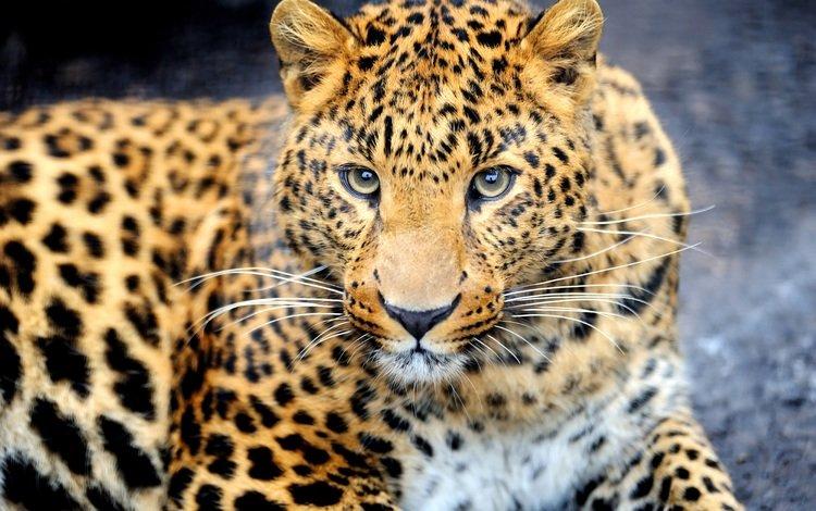 морда, взгляд, леопард, хищник, животное, окрас, face, look, leopard, predator, animal, color