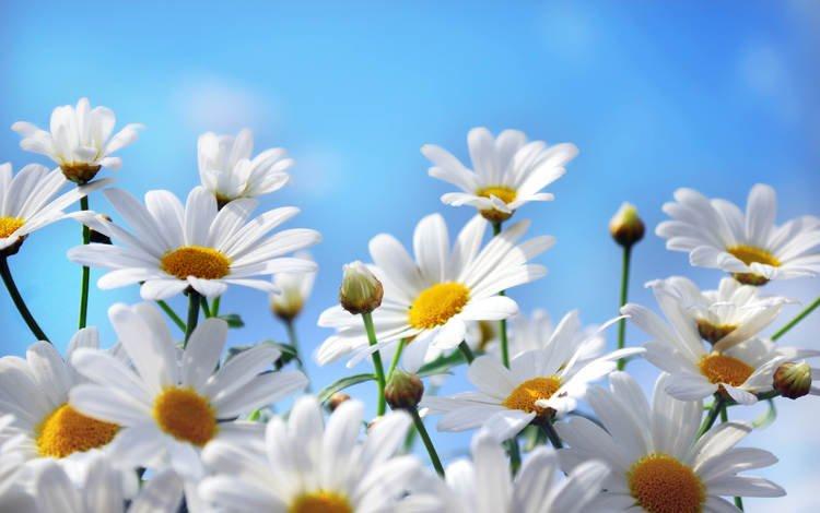 небо, цветы, природа, лепестки, ромашки, the sky, flowers, nature, petals, chamomile