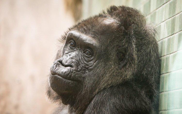 обезьяна, горилла, primate, calgary zoo, monkey, gorilla