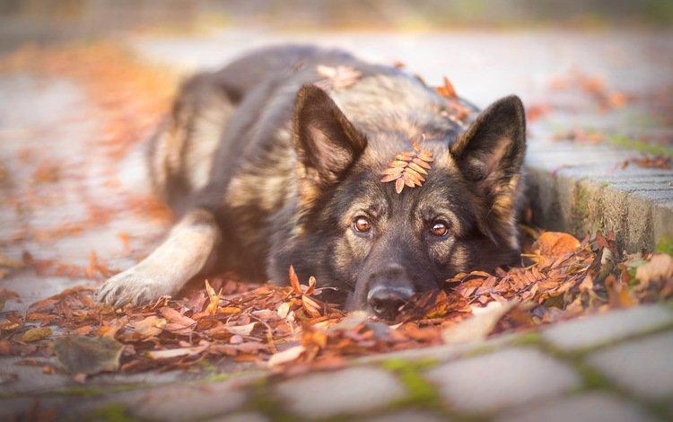 face, leaves, look, autumn, dog, each, german shepherd, shepherd, ceppe, photography, ilona mikkon