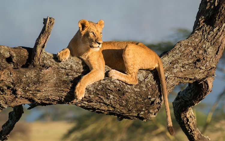 дерево, хищник, львица, tree, predator, lioness