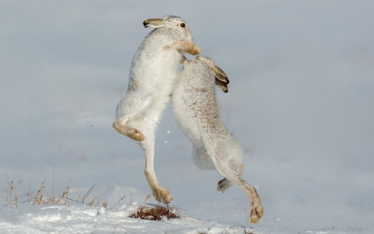 nature, rabbits, defensive, mountain hare