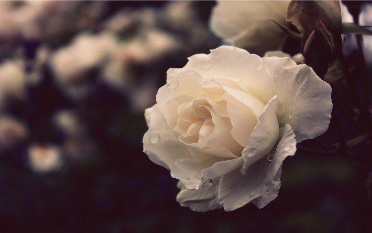 nature, flower, rose, white