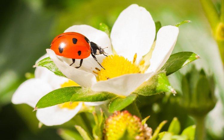 жук, макро, насекомое, цветок, клубника, божья коровка, beetle, macro, insect, flower, strawberry, ladybug