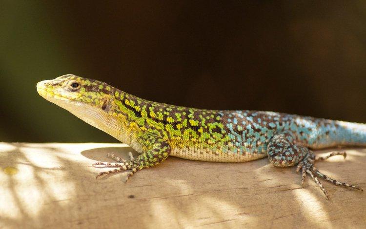 ящерица, чешуя, пресмыкающиеся, lizard, scales, reptiles