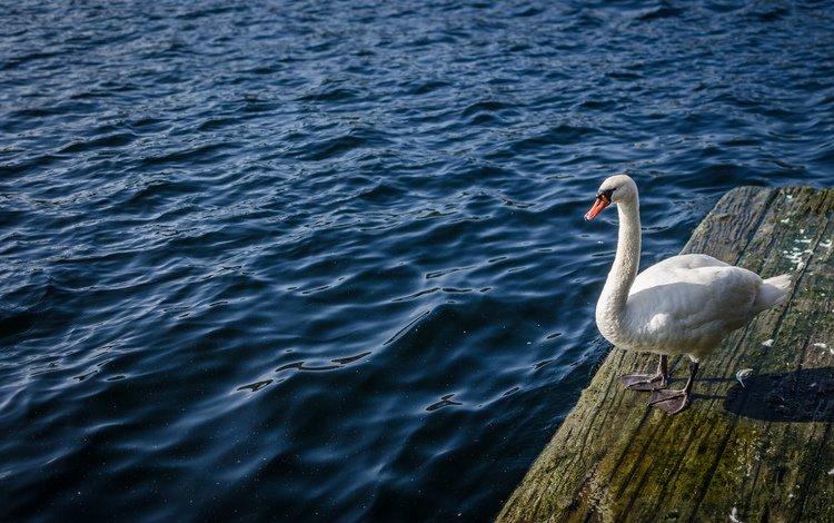 вода, птица, лебедь, water, bird, swan