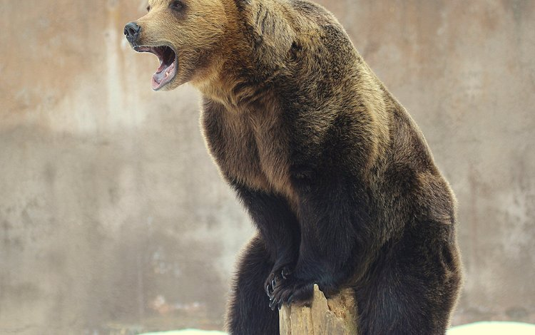 медведь, зверь, бревно, высоко сижу, далеко гляжу, bear, beast, log, sitting high, look away