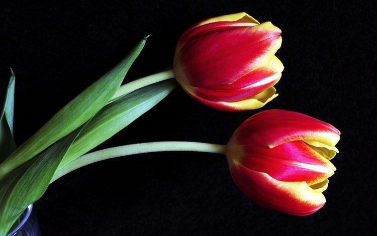 бутоны, макро, тюльпаны, buds, macro, tulips