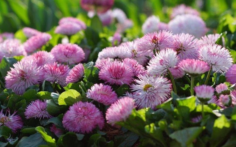 макро, розовый, маргаритки, macro, pink, daisy