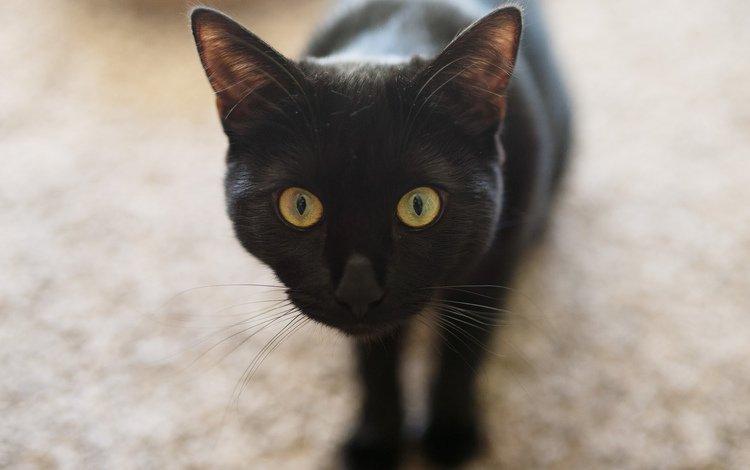 глаза, кот, кошка, черный, eyes, cat, black