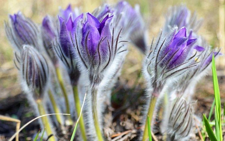 цветы, весна, нежность, анемоны, сон-трава, прострел, flowers, spring, tenderness, anemones, sleep-grass, cross