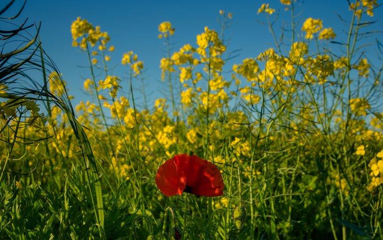 поле, луг, мак, рапс, field, meadow, mac, rape