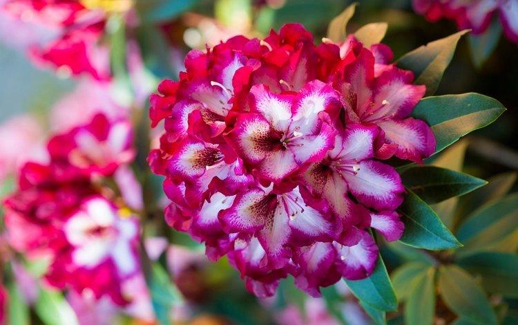 ветка, макро, пестрый, азалия, рододендрон, branch, macro, motley, azalea, rhododendron