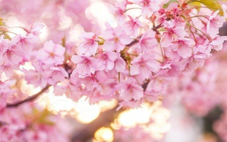 цветение, весна, розовый, вишня, сакура, flowering, spring, pink, cherry, sakura