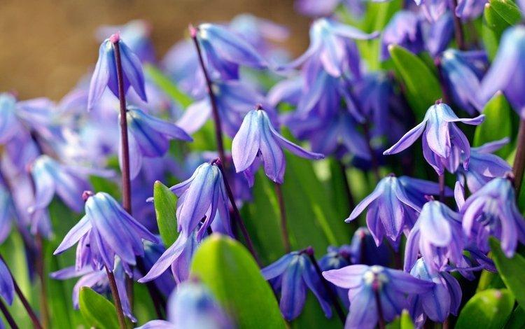 цветы, макро, голубой, весна, первоцвет, пролеска, пролески, flowers, macro, blue, spring, primrose, scilla