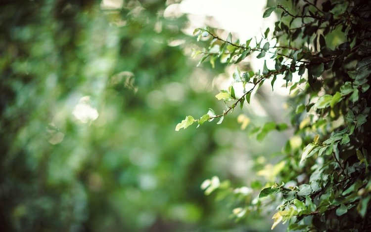 листья, ветки, зеленые, куст, leaves, branches, green, bush