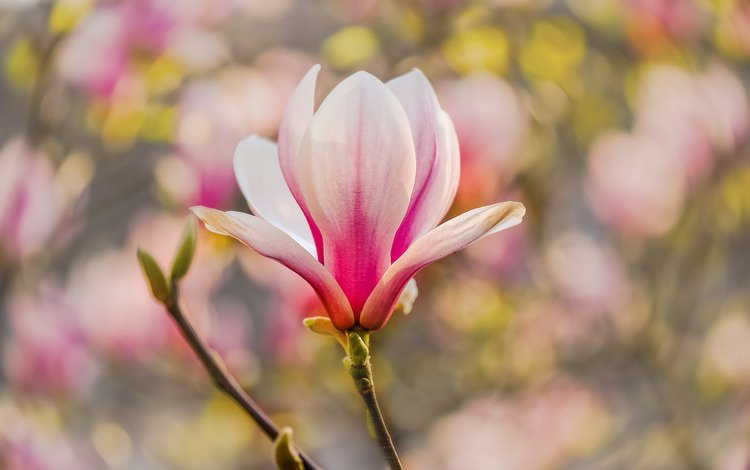 ветка, макро, весна, магнолия, branch, macro, spring, magnolia