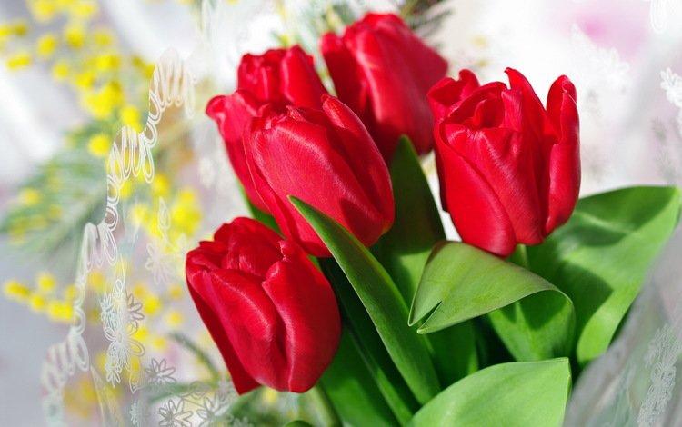 цветы, бутоны, красные, тюльпаны, flowers, buds, red, tulips