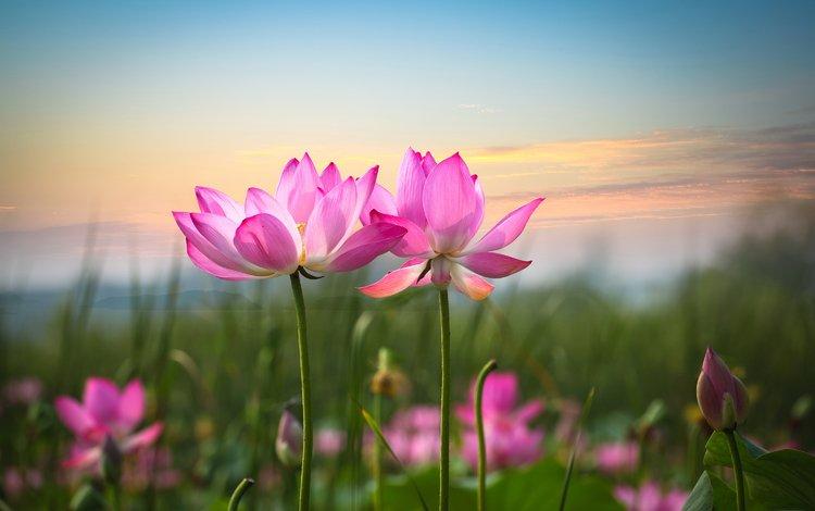 небо, цветы, фон, лепестки, лотос, розовый, стебли, the sky, flowers, background, petals, lotus, pink, stems