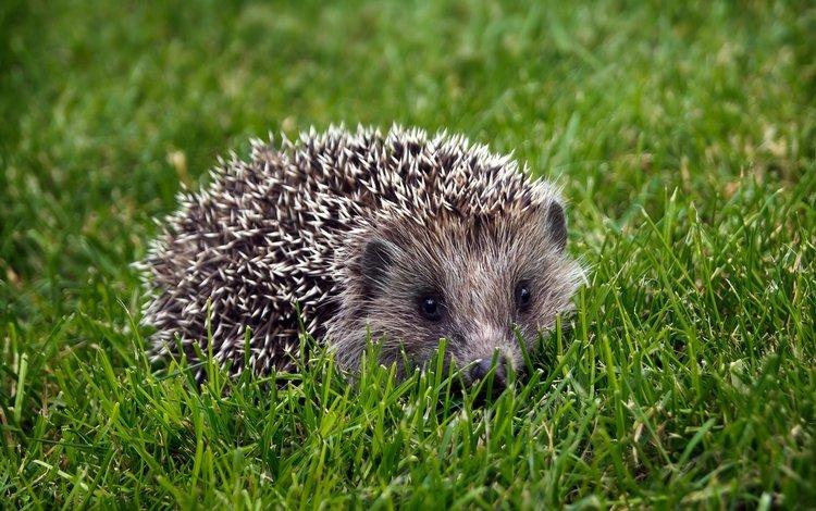 трава, колючки, ежик, еж, grass, barb, hedgehog