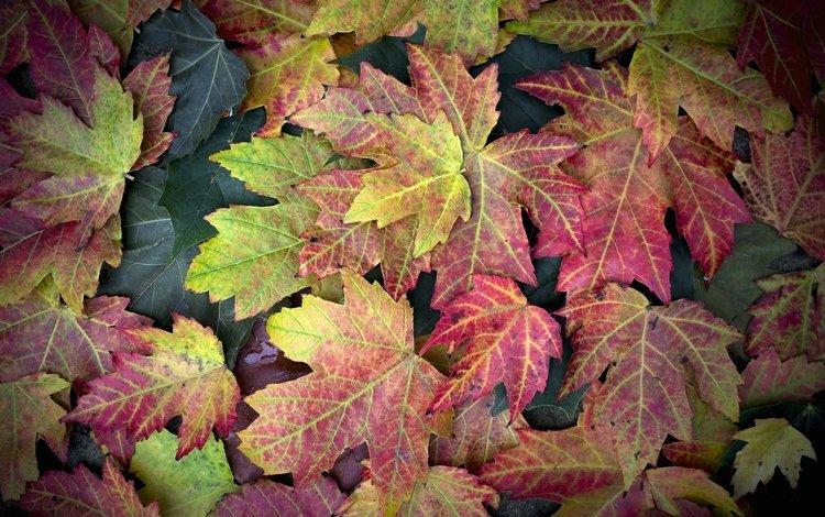 листья, осень, клен, leaves, autumn, maple