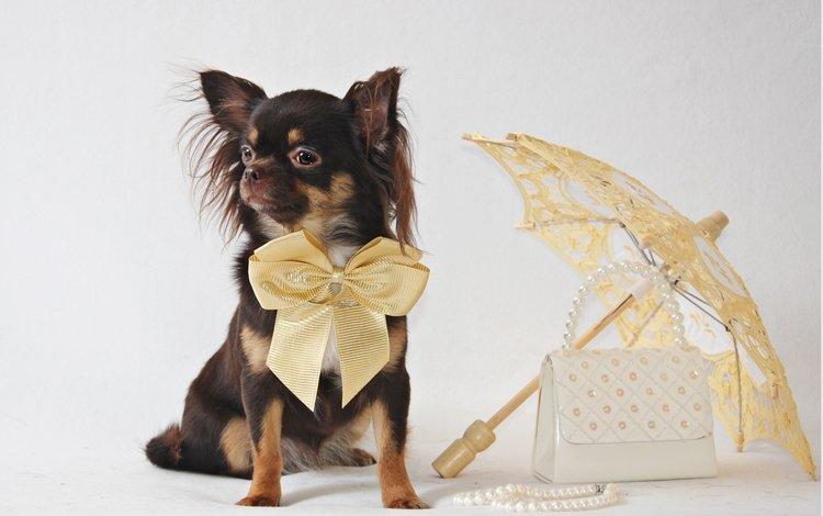 зонтик, собачка, чихуахуа, umbrella, dog, chihuahua