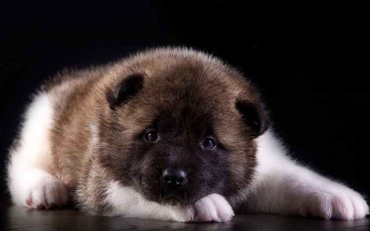 puppy, american, akita