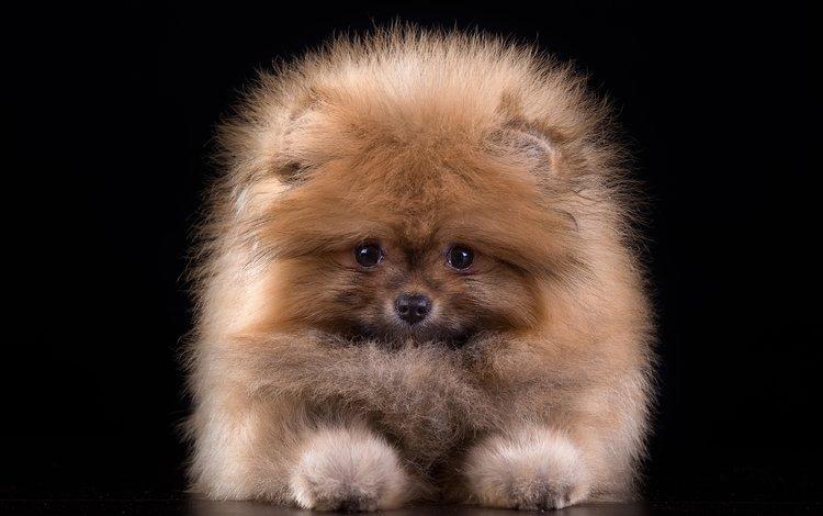 шерсть, е, пушистый, щенок, а, милый, шпиц, н, л, wool, e, fluffy, puppy, and, cute, spitz, n, l