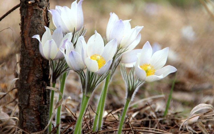 весна, нежность, анемоны, сон-трава, spring, tenderness, anemones, sleep-grass