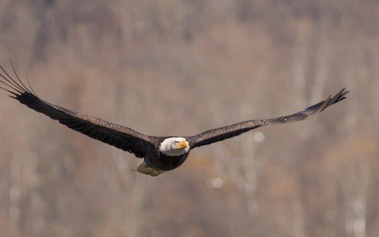 полет, крылья, птица, взмах, белоголовый орлан, flight, wings, bird, stroke, bald eagle