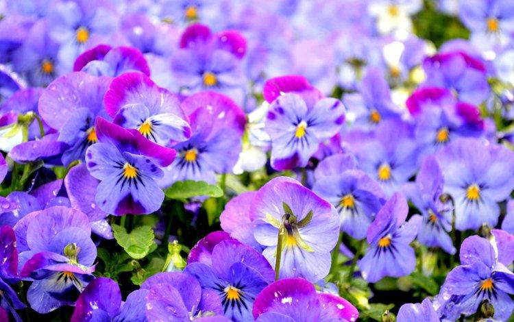 фиолетовый, анютины глазки, виола, purple, pansy, viola