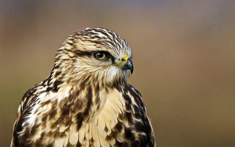 взгляд, профиль, птица, ястреб, птаха, buteo lagopus, rough-legged hawk, мохноногий канюк, зимняк, nпортрет, portrait, look, profile, bird, hawk, the rough-legged buzzard, rough-legged buzzard