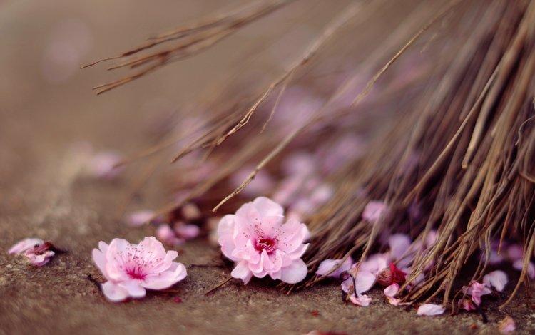 цветы, лепестки, розовые, flowers, petals, pink