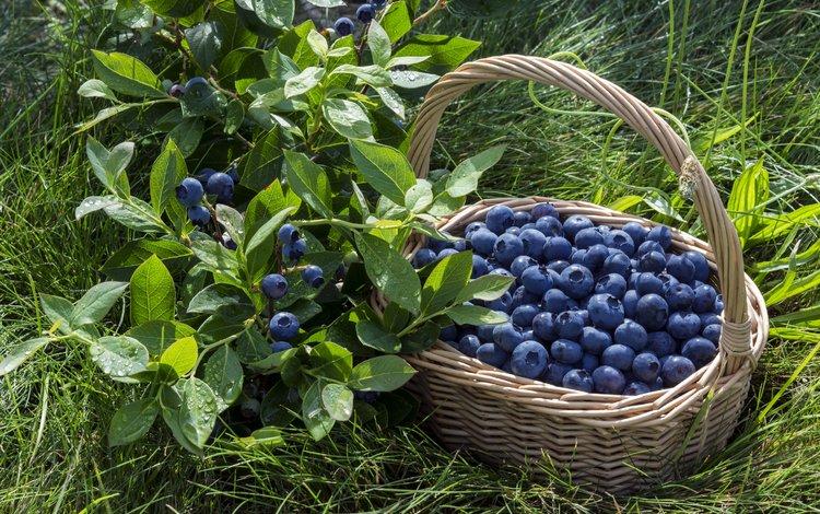 корзина, ягоды, лесные ягоды, черника, парное, черничный, basket, berries, blueberries, fresh, blueberry
