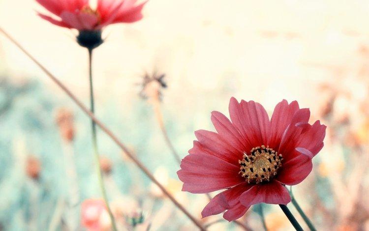 цветы, лепестки, розовые, космея, flowers, petals, pink, kosmeya