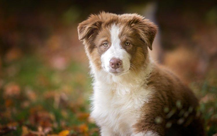 look, dog, puppy, australian shepherd, aussie