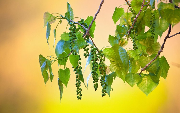 ветка, листья, плоды, branch, leaves, fruit