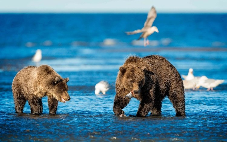 вода, животные, птицы, медведи, water, animals, birds, bears