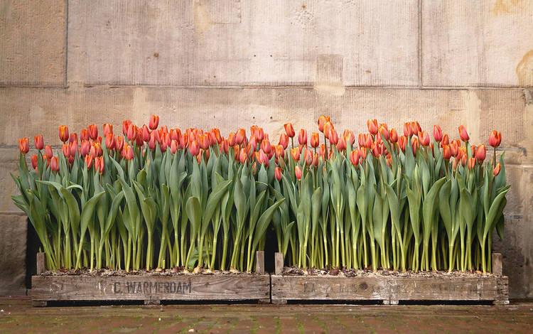 цветы, фон, тюльпаны, flowers, background, tulips