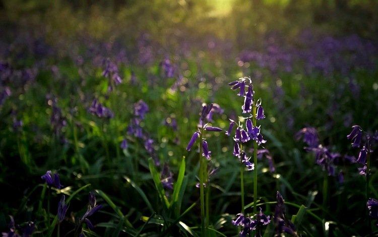 цветы, природа, фон, колокольчики, flowers, nature, background, bells