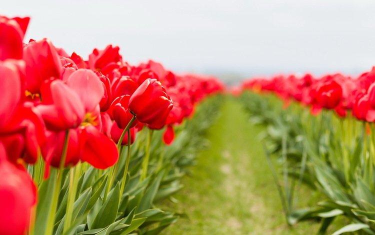 цветы, макро, тюльпаны, flowers, macro, tulips