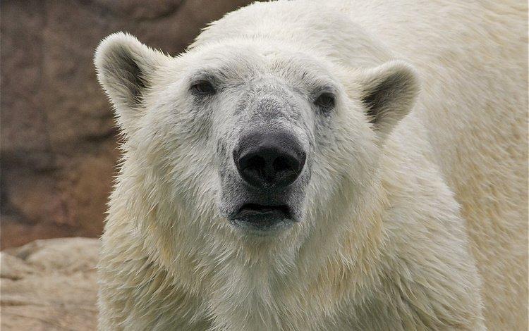 морда, взгляд, медведь, животное, белый медведь, face, look, bear, animal, polar bear