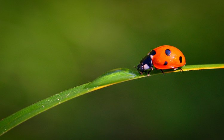 вода, насекомое, капли, лист, божья коровка, травинка, water, insect, drops, sheet, ladybug, a blade of grass