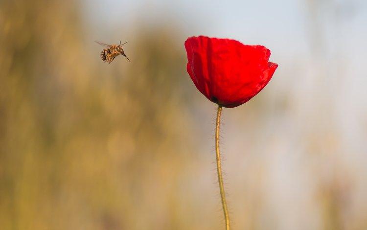 макро, насекомое, цветок, красный, мак, стебель, macro, insect, flower, red, mac, stem