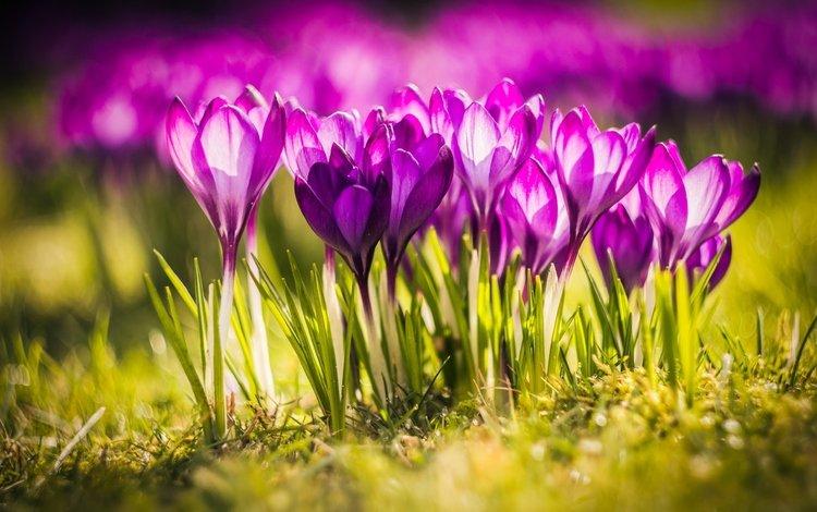свет, цветы, весна, крокусы, close up, light, flowers, spring, crocuses