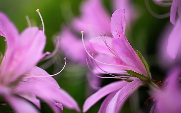 цветы, макро, лепестки, лилия, розовые, цветком, flowers, macro, petals, lily, pink, flower