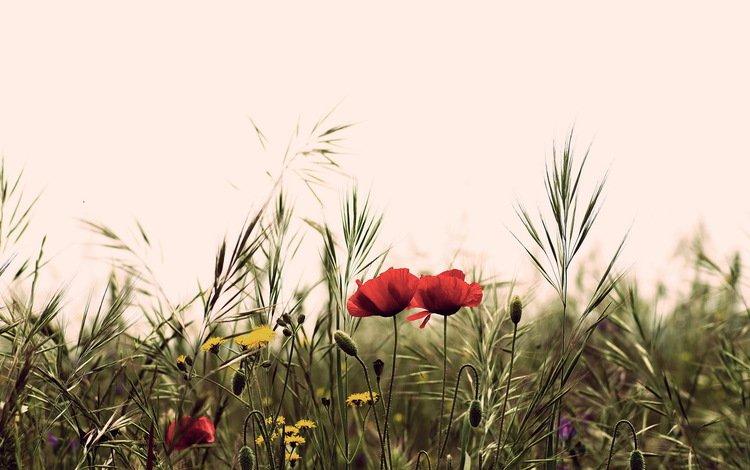 цветы, поле, лето, маки, полевые, flowers, field, summer, maki