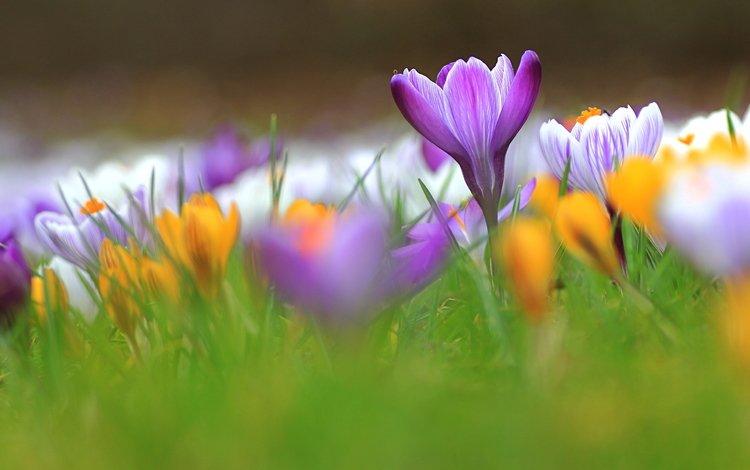 Фото на рабочий стол весенние цветы